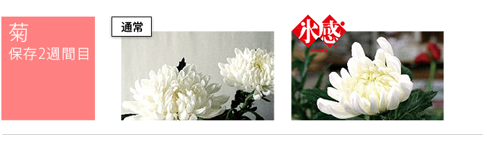 菊の保存2週間通常保存と氷感保存との比較
